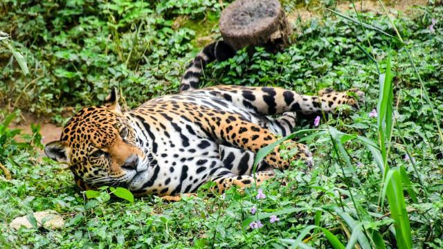 Caçador de SC mata filhote de onça em extinção e exibe cabeça