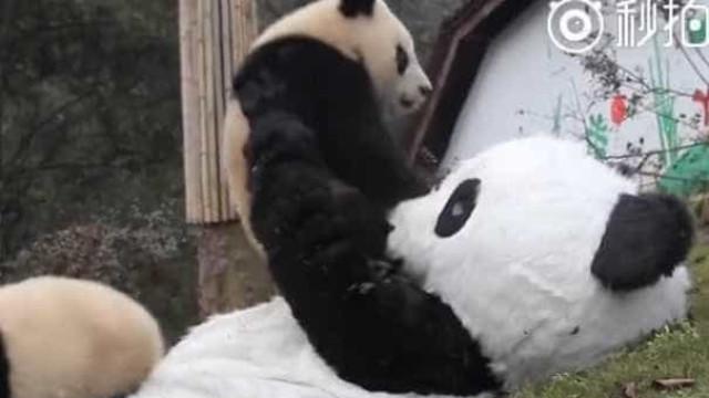 Zoo contrata pessoas para se vestir de panda e abraçar os animais