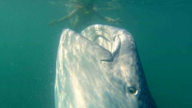 Tubarão-baleia é filmado na vertical enquanto devora plâncton