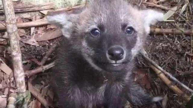 Zoológico de São Paulo registra nascimento de dois lobos-guará