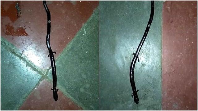 Estranha serpente com pés é registrada em vídeo