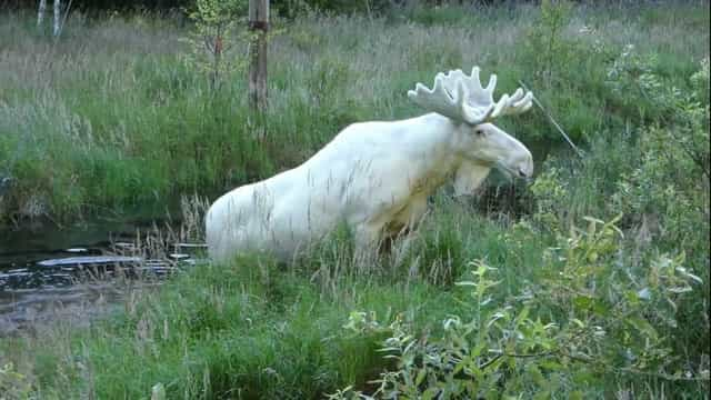 Homem filma a rara aparição de um alce branco na Suécia