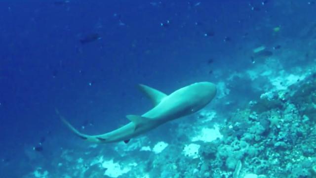 Tubarão sem uma barbatana filmado em mar das Ilhas Salomão