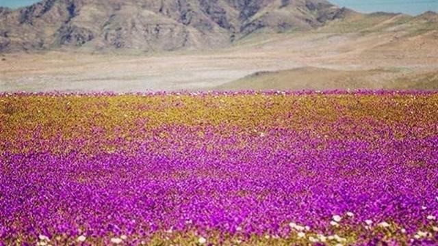 Deserto do Atacama: o lugar mais seco do planeta está todo florido
