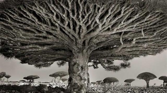 Confira imagens das misteriosas árvores ancestrais