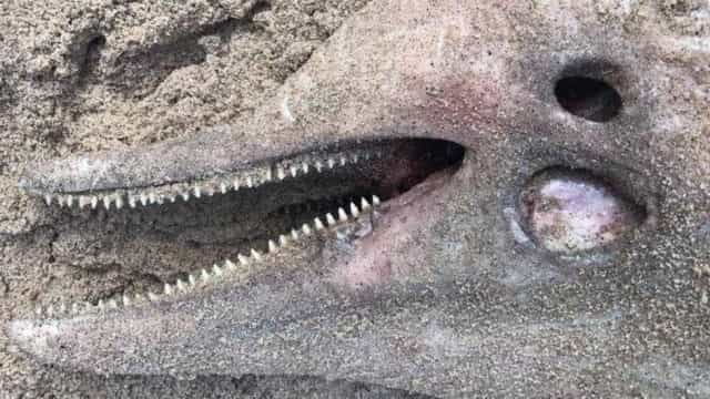 Em extinção, boto-cinza é encontrado morto na Baía de Guanabara