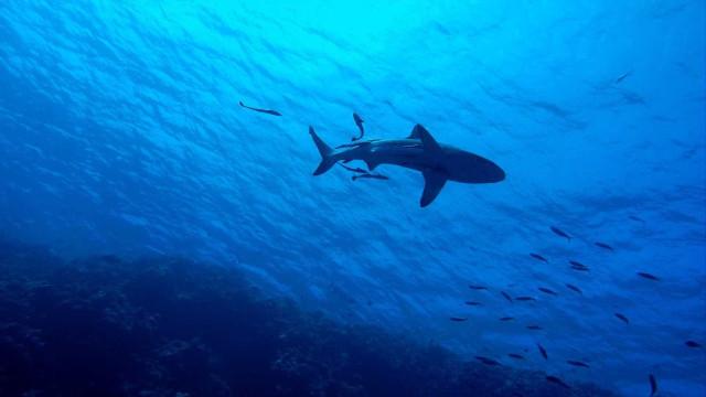 Tubarão nada em uma praia cheia de turistas em Benidorm