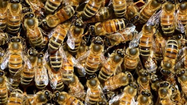 Enxame de abelhas gigantes invade casa na Austrália