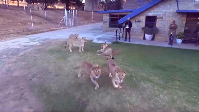 Leões perseguem drone na África do Sul