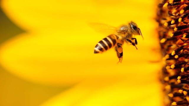 Acupuntura com abelha faz vítima fatal na Espanha