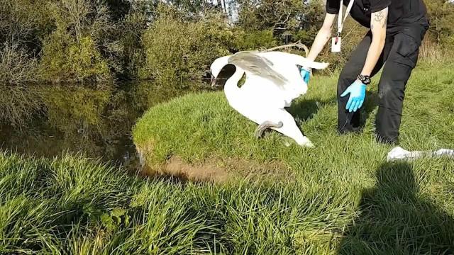 Cisne preso em linha de pesca é resgatado na Inglaterra
