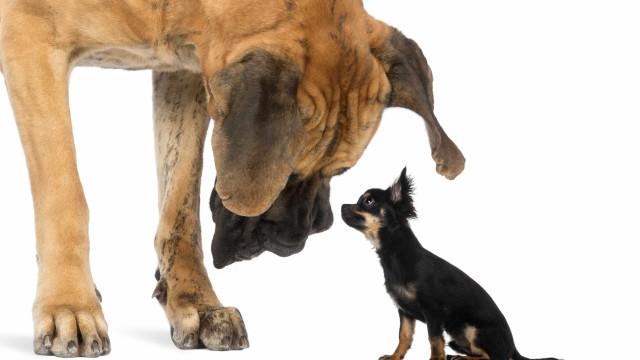 Conheça as maiores raças de cães do mundo; fotos