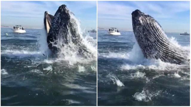 Baleia realiza salto impressionante para fazer sua refeição