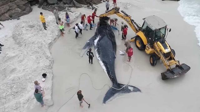 Drone mostra resgate de baleia-jubarte encalhada em praia no Rio