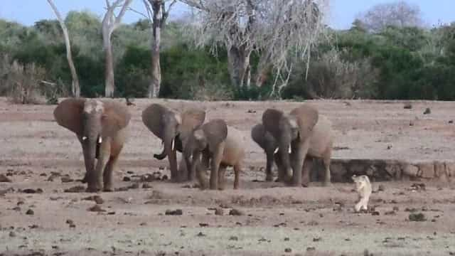 Elefantes perseguem leoa em parque no Quênia