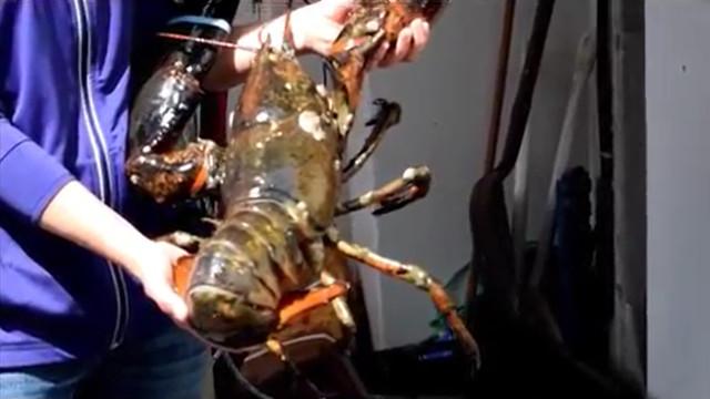 Lagosta gigante de 45 anos é encontrada na Escócia