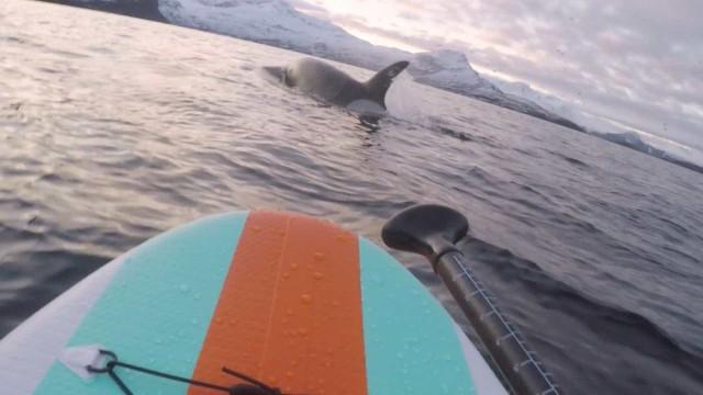 Surfista se aproxima de grupo de orcas na Noruega; vídeo