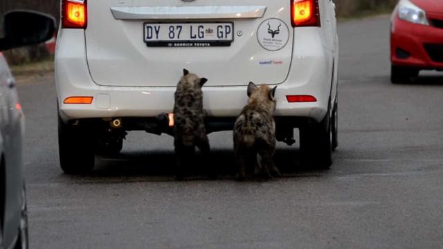 Hienas exploram carros de turistas na África do Sul