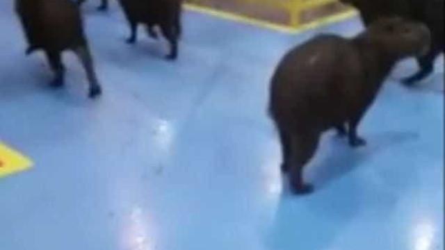 Vídeo mostra invasão de capivaras em fábrica de Itajaí; assista