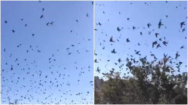 Bando de pássaros invade os céus da Geórgia, nos EUA