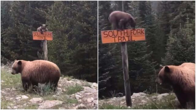 Filhote de urso escala placa com muita habilidade; vídeo
