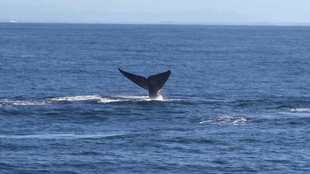 Mais de 60 baleias azuis são avistadas na Califórnia