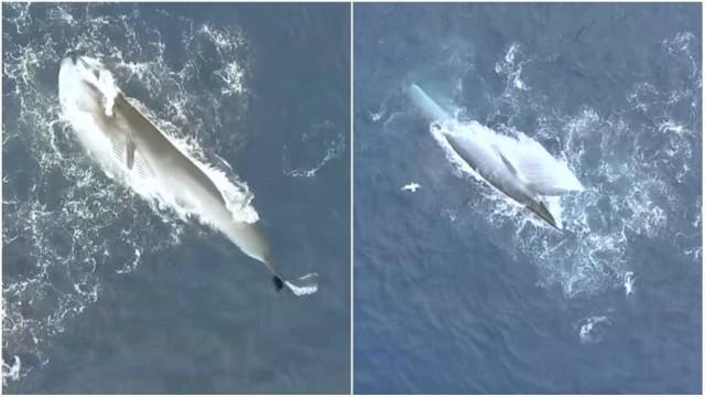 Filmagem de drone mostra baleias de bryde se alimentando em Curaçau