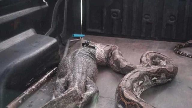 Piton de 5 metros é encontrada em residência na Tailândia