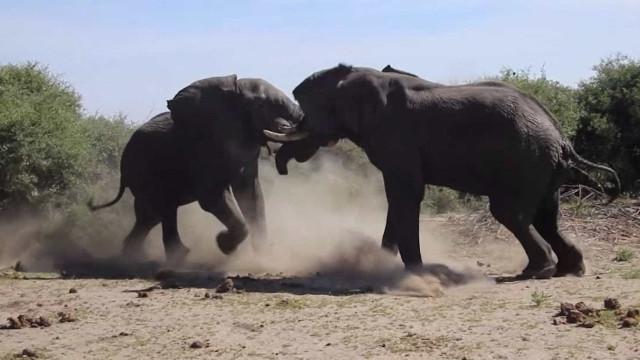 As lutas extraordinárias do mundo animal