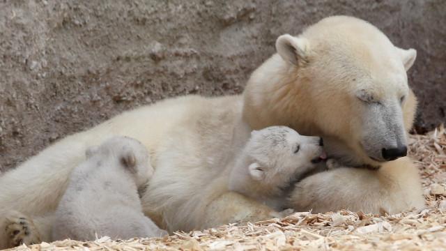 Vídeo mostra urso desnutrido lutando para sobreviver no Canadá