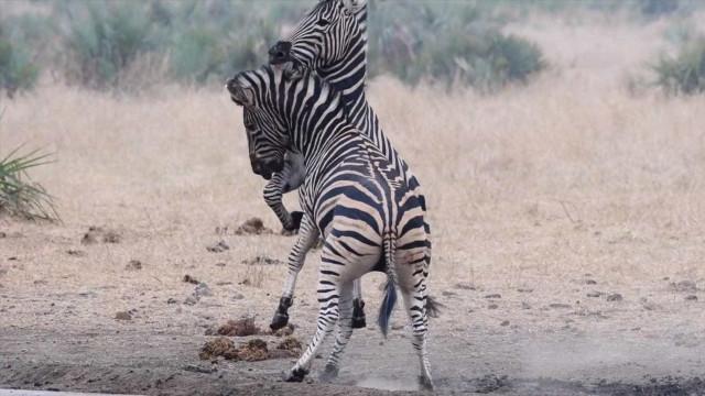Zebras travam batalha épica em Parque Nacional na África