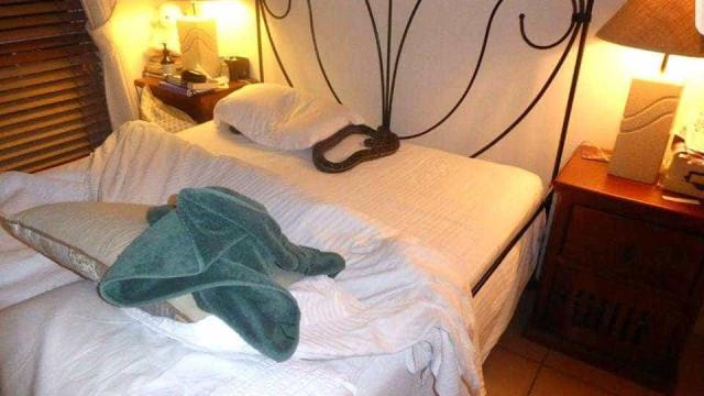 Mulher acorda com cobra gigante enrolada no travesseiro na Austrália