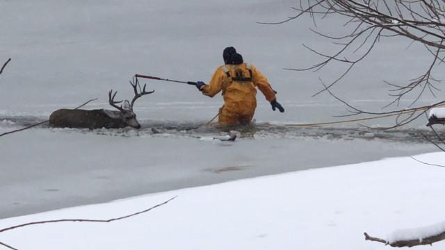Veado é resgatado de lago congelado no Colorado