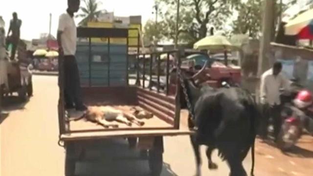 Vaca segue camionete que transportava seu filhote ao veterinário