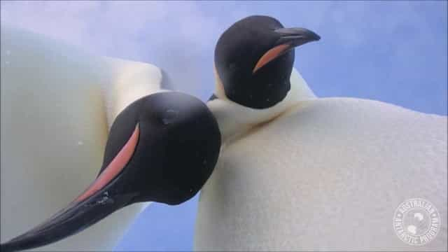Curiosos, pinguins 'fazem selfie' com câmera deixada por cientista