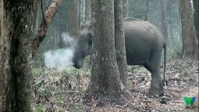 Em vídeo, elefante aparece inalando fumaça em floresta na Índia