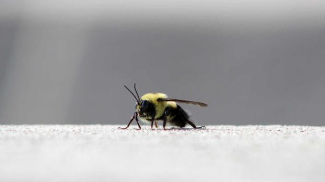 Saiba por que a NASA quer enviar abelhas robôs a Marte
