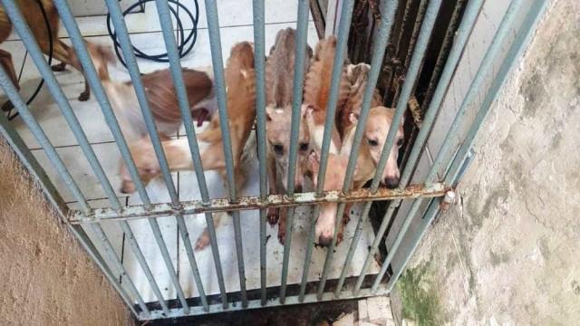 Cães de raça rara são achados desnutridos em criadouro clandestino