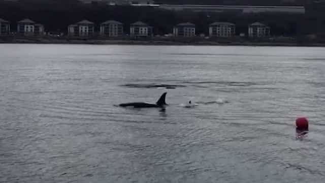 """Orcas """"cumprimentam"""" passageiros de barco na Escócia"""
