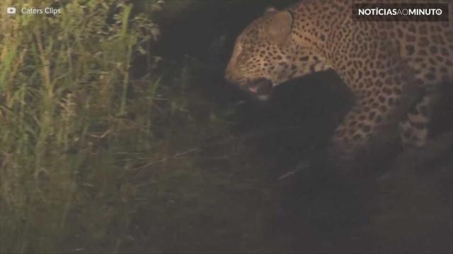 Raridade! Leopardo é visto em Parque Nacional de Moçambique