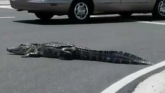Jacaré é encontrado no meio da rua na Flórida