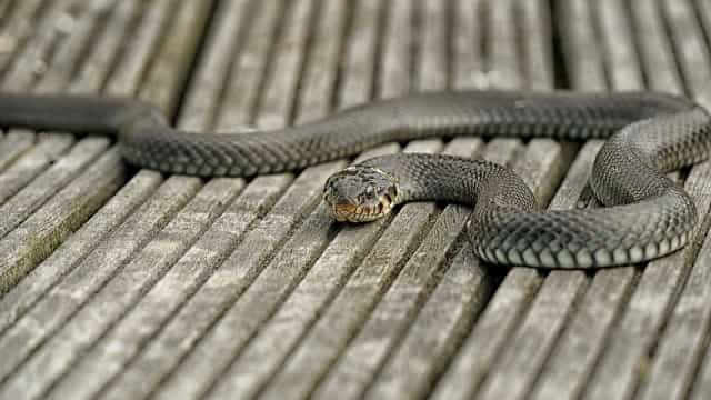 Cobra 'invade' quintal no Recife e devora pato; imagens fortes