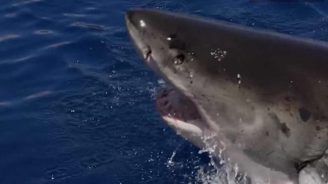 Tubarão-branco é captado em slow-motion incrível
