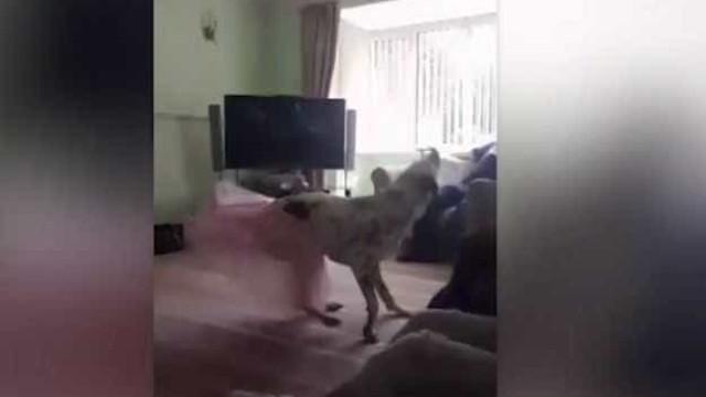 Conheça o talentoso cão que sabe dançar ballet; vídeo