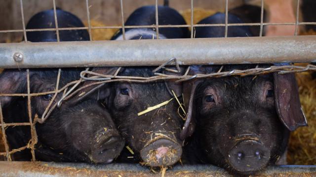 Fazendeiro dá 30 mil litros de leite a porcos em Minas Gerais