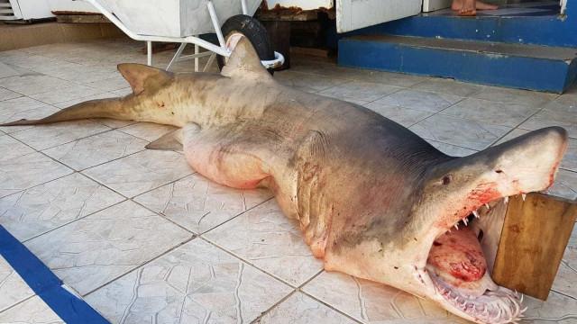 Tubarão-fêmea à espera de filhotes é capturado e biólogo diz: 'Dó'