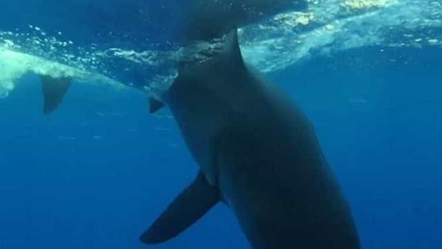Tubarão-branco faz tornado incrível com a cauda