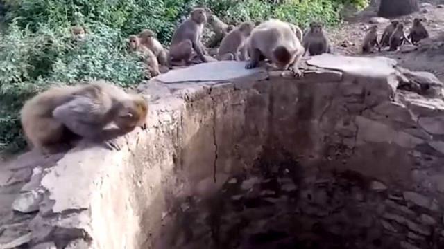 Impressionante! Macacos salvam leopardo que caiu em poço