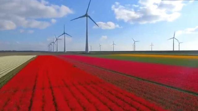 Drone mostra beleza dos campos de tulipas na Holanda