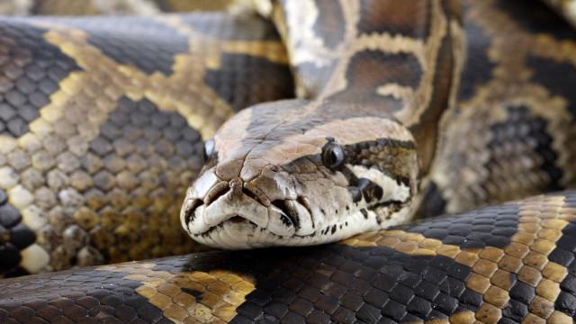 Mulher é encontrada dentro de cobra na Indonésia; vídeo